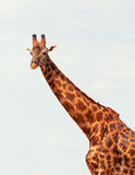 Giraffe in Masai Mara Royalty Free Stock Images