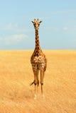 Giraffe in Masai Mara Royalty Free Stock Photography