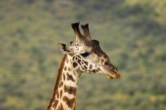 Giraffe in Masai Mara Stock Image
