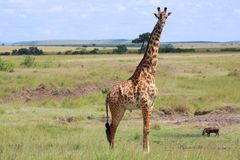 A giraffe at the masai mara Royalty Free Stock Photo