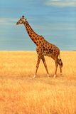 Giraffe in Masai Mara Stock Photos