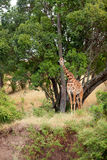 Giraffe in Masai Mara Royalty Free Stock Photography