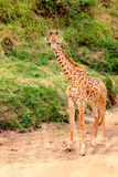 Giraffe in Masai Mara Stock Photography