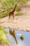 Giraffe in Masai Mara Stock Images
