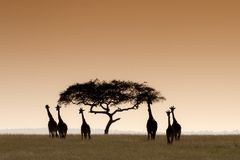 Giraffe masaie immagini stock