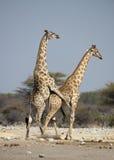 Giraffe mating. In Etosha National Park,Namibia.Africa stock image