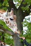 The giraffe mesh Giraffa camelopardalis reticulata Linnaeus takes carrots from a children`s hand Royalty Free Stock Photography