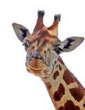 Giraffe mignonne Images libres de droits