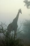 Giraffe in the mist. A giraffe in the early morning mist of the Bushveld, in Mpumalanga, South Africa Stock Photos