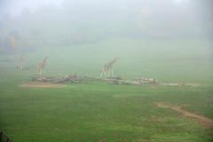 Giraffe in the mist Stock Images
