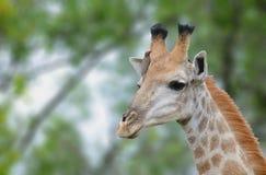 Giraffe mit der oxpecker Vogelfütterung stockbilder