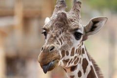 Giraffe mit der Zunge heraus Stockbilder