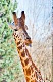 Giraffe mit einem lustigen Gesicht Lizenzfreies Stockfoto