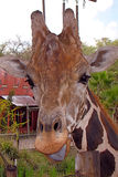 Giraffe mit einer Haltung Stockbild