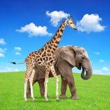 Giraffe mit Elefanten Lizenzfreies Stockbild