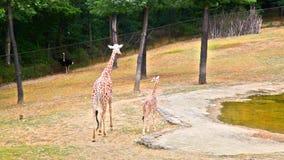 Giraffe mit Jungen auf Zoo gound stock video