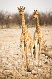 Giraffe mit Kalb stockbilder