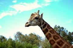 Giraffe mit langem Hals Stockfoto