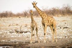 Giraffe mit Schätzchen Stockbilder