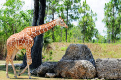 Giraffe mit Star-like Muster Lizenzfreie Stockfotos