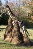 Giraffe mit Termiten Stockfotografie