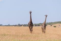 Giraffe mit zwei Masais, die in langes Gras geht stockbild