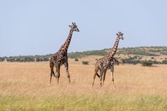 Giraffe mit zwei Masais, die nebeneinander auf Savanne geht stockbild