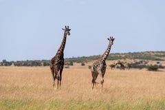 Giraffe mit zwei Masais, die nebeneinander in Savanne geht stockfoto