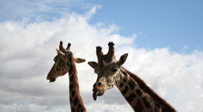 Giraffe mocking of me. Giraffe sticking its tongue out at me Royalty Free Stock Photography