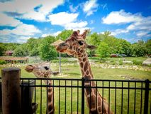 Giraffe mom royalty free stock photos