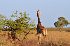 Giraffe in morning sunshine Stock Photography