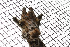 Giraffe in Moscow Zoo. Giraffe looks through a lattice cage  in Moscow Zoo Stock Photography