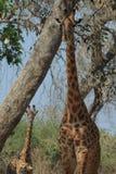 Giraffe mother Royalty Free Stock Photos