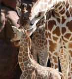 Giraffe mother and baby Stock Photo