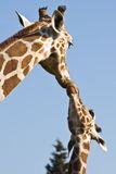 Giraffe mother and baby. Love and care- with blue sky background Royalty Free Stock Photography