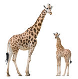 Giraffe mother and baby. Isolated on white background. There are more isolated fauna species in