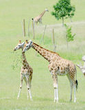 Giraffe mother and baby Stock Images
