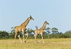 Giraffe mother and child Royalty Free Stock Images