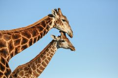 Giraffe mother and offspring in South Africa stock image