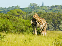 Giraffe mother and young Royalty Free Stock Photo