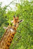 The Giraffe mum kissing Stock Photography