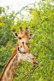 The Giraffe mum playing with her child Stock Image