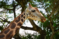 Giraffe Munching on Leaves Stock Photo