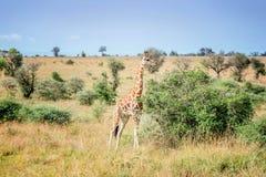 Giraffe in the Murchison Falls National Park in Uganda, Africa Royalty Free Stock Photos