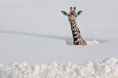 Giraffe na neve imagem de stock royalty free