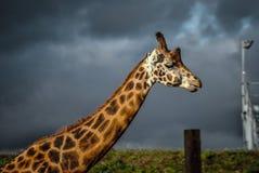Giraffe nah oben mit Regenwolken Lizenzfreies Stockfoto