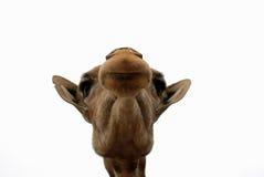 Giraffe-nahes hohes Lizenzfreie Stockfotografie