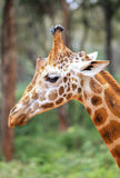 Giraffe In Nairobi Kenya Royalty Free Stock Image