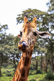 Giraffe In Nairobi Kenya Royalty Free Stock Photos