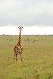 A giraffe at the Nairobi National Park Royalty Free Stock Images